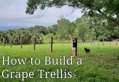 How to Build a Grape Trellis (High Cordon Trellis) – Old Man Stino Grape Vine Trellis, Wire Trellis, Grape Vines, Backyard Vineyard, Grape Vineyard, Building A Trellis, Grape Arbor, Florida Gardening, Growing Grapes