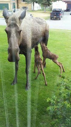 Wild moose babies nursing in a front yard in Soldotna, AK