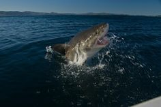 Dive with Great White Sharks off Gansbaai, South Africa - Bucket List Dream from TripBucket