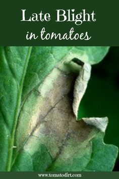Grow Tomatoes Tips Late blight in tomatoes: how to identify, prevent, and control it with Tomato Dirt Tips For Growing Tomatoes, Growing Tomatoes In Containers, Growing Vegetables, Dried Tomatoes, Grow Tomatoes, Baby Tomatoes, Heirloom Tomatoes, Cherry Tomatoes, Pruning Tomato Plants