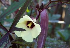 This is a burgundy type which is highly decorative and edible, Growing Okra, Scandinavian Garden, Burgundy, Texas, Type, Plants, Decor, Flora, Decorating