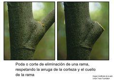 #Poda o corte de eliminación de una rama. Se respeta las zonas vitales de la unión entre rama y tronco del #árbol: arruga de la corteza y cuello de la rama. #arboricultura #RemovalCut #Tree