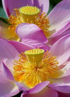 Lotus by nobuflickr