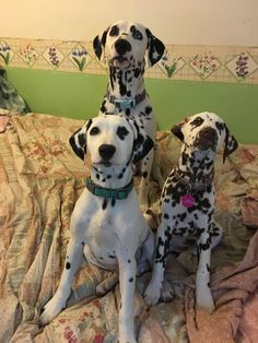 b8c634121f4cf 6358 Best Dogs and Dals images in 2019 | Dalmatians, Dogs, Dalmatian ...