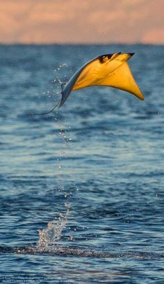 "Mobula rays leap from the waters of the Gulf of California, Mexico. ""just after the sun came up, dozens of mobula rays took to the sky with the orange sun lighting their bellies. Gulf Of California, Water Animals, Underwater Life, Ocean Creatures, Tier Fotos, Sea And Ocean, Sea World, Fauna, Ocean Life"