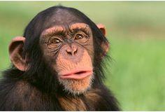 Ebola : un espoir de vaccin pour les chimpanzés