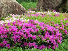 2014年4月30日(水) おはようございます!久し振りの雷雨に見舞われた加古川、一夜明けて空模様も落ち着いてきました。今日も息子をバス停まで見送ってから朝散歩。JR加古川駅前では、1970年3月に加古川市の花として登録された「ツツジ」が開花を始めています。歩道の花壇や中央分離帯など、ピンクの花がとても綺麗ですよ(^^  それでは、今日も皆様にとって良い1日になりますように☆ 【加古川・藤井質店】http://www.pawn-fujii.jp/