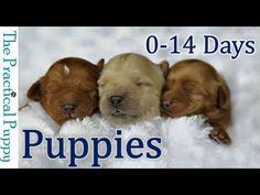 caring for newborn puppies * puppies newborn & puppies newborn photography & puppies newborn photoshoot & puppies newborn care & puppies newborn videos & newborn german shepherd puppies & newborn baby puppies & caring for newborn puppies Newborn Puppy Care, Newborn Puppies, Baby Puppies, Cute Puppies, Dogs And Puppies, Puppies Tips, Boxer Puppies, Cockapoo Puppies, Collie Puppies