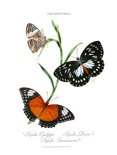 Edward Donovan - PAPILIO CYDIPPE - RED LACEWING BUTTERFLY - Cethosia cydippe - PAPILIO DIRCE - DIRCE BEAUTY or ZEBRA MOSAIC - Colobura dirce - PAPILIO EURINOME - EURINOMENE (sic) - COMMON FOREST QUEEN - Euxanthe eurinome. Plate 33 from An Epitome of the Natural History of the Insects of India and the islands of the Indian Seas, Published London. Printed by T. Benseley, Bolt Court, Fleet Street, London 1804.