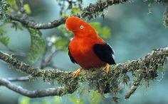 Birdwatchers flock to Ecuador: Home to the highest density of bird species per acre on Earth, the country is a birder's paradise . cock of rock Purple Flowers Wallpaper, Deer Wallpaper, Rabbit Wallpaper, Dinosaur Wallpaper, Animal Wallpaper, Wallpaper Desktop, Mermaid Wallpapers, Most Beautiful Birds, All Gods Creatures