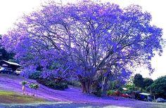 Vibrant Blue, Jacaranda Tree, Kona, Hawaii