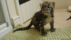 Clouded leopard cub. http://www.zooborns.com/zooborns/2014/10/clouded-leopard-cub-makes-herself-at-home.html