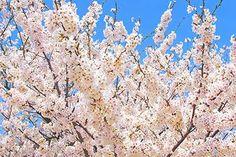 白いさくらの花と青い空