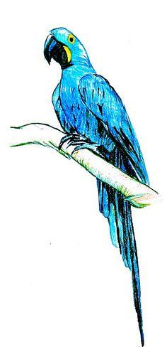 Arara Azul Desenho com lápis aquarelável em papel canson A4 140g