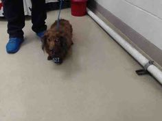 06/15/16--HOUSTON- -EXTREMELY HIGH KILL FACILITY -ROSIE - ID#A461685 My name is ROSIE I am a spayed female, brown Dachshund. The shelter staff think I am about 7 years old. I have been at the shelter since Jun 15, 2016. This information was refreshed 8 minutes ago and may not represent all of the animals at the Harris County Public Health and Environmental Services.