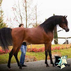 Beautiful beast! Pretty Horses, Beautiful Horses, Egyptian Arabian Horses, Dry Desert, Horse Quotes, Horse Breeds, Donkeys, Horseback Riding, Animal Pictures