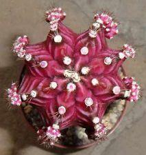 Gymnocalycium mihanovichii Variegata Black Purple Form Cactus Plant Astrophytum