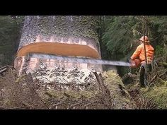 Dangerous Fastest Biggest Tree Cutting Down Skills - Extreme Felling Old Oak Tree with Turbo ChainSaw Machine. Compilation of a variety of proper equipment a. Old Oak Tree, Old Trees, Wood Wall Design, Cheer Picture Poses, Vintage Patio, Tree Felling, Forest Pictures, Tree Care, Nature Tree