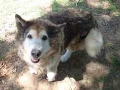 Amy - Husky mix - Female - 10 yrs old -Hallie Hill Animal Sanctuary - Ravenel, SC. - http://halliehill.com/ - https://www.facebook.com/Hallie-Hill-Animal-Sanctuary-219879991469122/ - http://www.petango.com/Adopt/Dog-Alaskan-Husky-24863676 -  http://www.adoptapet.com/pet/13141495-ravenel-south-carolina-husky-mix - https://www.petfinder.com/petdetail/33771486