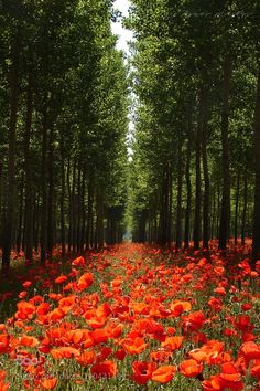 forest of red poppies Beautiful World, Beautiful Places, Beautiful Pictures, Landscape Photography, Nature Photography, Poppy Photography, Nature Scenes, Nature Pictures, Amazing Nature