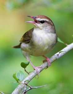 Swainson's Warbler (Limnothlypis swainsonii) is a small species of New World warbler. Swainson's Warblers are uncommon, mostly found in flooded swamplands and canebrakes of the south-eastern United States. More rarely, they will also occur in rhododendron thickets in the southern Appalachian mountains.