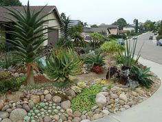 Aloes, echeverias, and agave attenuata help transform this former front lawn. Aloe rubroviolacea, with its seasonal spiky blooms of orange-red flowers, would thrive in this garden.