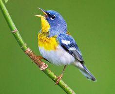 Parula americana Common name: northern parula (en) ; mariquita-azul (pt); paruline à collier (fr) ; parula norteña (es) ; meisenwaldsän...