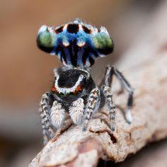 Peacock spider Maratus harrisi - Jurgen Otto