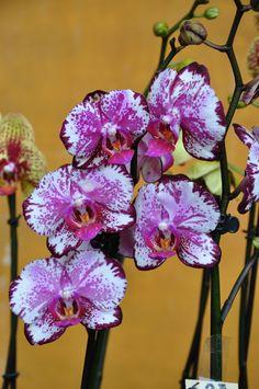 https://flic.kr/p/82sXnq   Phalaenopsis_07   Orchibo 2010 - Bologna Frenzel Detlef Orchideen