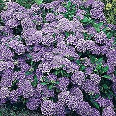 ***Deer resistant hydrangea: Compact shrub, 3-5' tall with broad, leathery leaves, is ideal for a variety of settings. Rich purple flower heads form majestic balls in summer; dry flowers add interest to the winter landscape. Use in naturalized settings, borders or hedges. Plant 6-8' apart. Hydrangea macrophylla 'Royal Purple'    Courtney wants 1 of these!