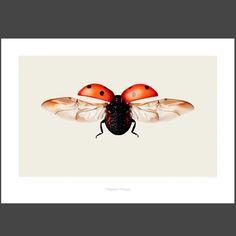Coccinella septempunctata VON hagedornhagen now on JUNIQE! Lady Bug Tattoo, Botanical Illustration, Illustration Art, Animal Illustrations, Princess And The Pea, Bird Artwork, Bird Prints, Ink Art, Watercolor Art