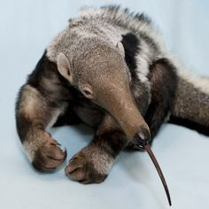 baby anteater trying out his tongue