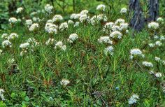 Suopursu, Marsh tea (Rhododendron tomentosum) Markus Hirvonen