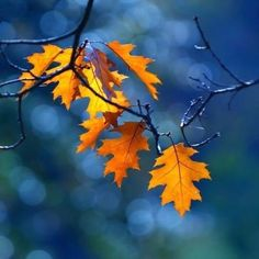 ''Autumn carries more gold in its pocket than all the other seasons '' # beautiful nature photography # All Nature, Parcs, Mellow Yellow, Blue Yellow, Autumn Leaves, Golden Leaves, Oak Leaves, Yellow Leaves, Autumn Rain