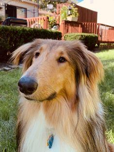 The Perfect Dog, Sheltie, Collie, Best Friends, Birds, Animals, Weddings, Dress, Beat Friends
