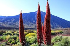 Image associée Tenerife, Tropical Backyard, Unusual Plants, Island Design, Beach Bars, Island Beach, Canary Islands, Best Hotels, Mountains
