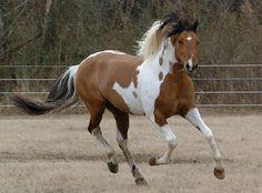 Dun Paint horse