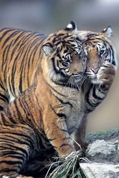 Tiger Affection