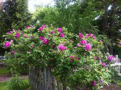 Rosaraie del'Hay  strong super-fragrant hardy big rugosa rose, big flowers, repeat-blooming