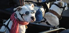 BADRAP is a diverse and growing group of owners, rescuers, and supporters of the American Pit Bull Terrier. Nanny Dog, Dog Safety, Pit Bull Love, Dog Snacks, Pitbull Terrier, Dog Owners, Puppy Love, Your Dog, Pitbulls