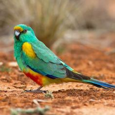 Mulga parrot, endemic in arid scrublands and lightly timbered grasslands in the interior of southern Australia.