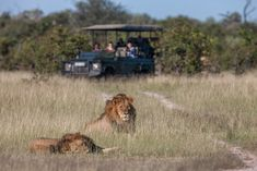 Chitabe's male lions and game drive vehicle