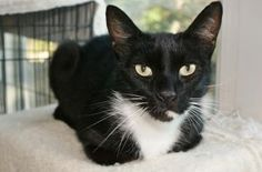 The *General is an adoptable Domestic Short Hair-Black & White Cat in Conway, AR. I'm a very sweet & loving boy! If you scratch my rump at the base of my tail, I will purr for you!
