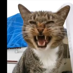 Hunter loves to meow! This is a small sample of his voice! Funny Cute Cats, Cute Cats And Kittens, Cute Funny Animals, Baby Cats, Cute Baby Animals, Cool Cats, Kittens Cutest, Animals And Pets, Pretty Cats