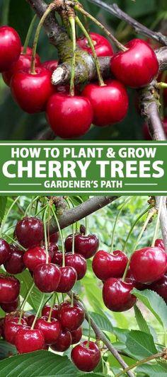 Cherry Fruit Tree, Growing Cherry Trees, Growing Tree, Planting Cherry Trees, Fruit Plants, Fruit Garden, Garden Trees, Trees To Plant, Edible Garden