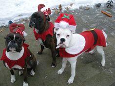 Boxer Buddies Bella, Magnus & Powder as Santa Paws & Reindeer Doggies