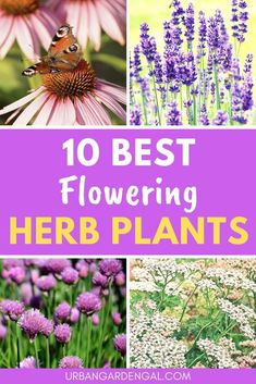 Flowering herbs are a beautiful addition to a flower garden or herb garden. Here are 10 of the best herb plants with flowers. art design landspacing to plant Herb Plants, Outdoor Plants, Garden Plants, Vegetable Garden, Outdoor Gardens, Lawn And Landscape, Planting Roses, Blooming Plants, Growing Herbs