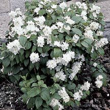 Miniature Snowflake Mockorange   Philadelphus x virginalis 'Miniature Snowflake'.   Zones 4-8 - A dwarf version of the popular Minnesota Snowflake mockorange growing only 2 to 3 feet tall. The compact bush is well-branched with dark green, disease resistant foliage. A prolific bloomer bearing double white blossoms with exquisite sweet fragrance. Flowers in June. Prefers full sun.