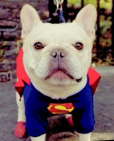 Super Frenchie! Adorable French Bulldog ❤