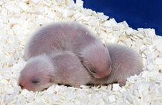 Tiny baby ferrets